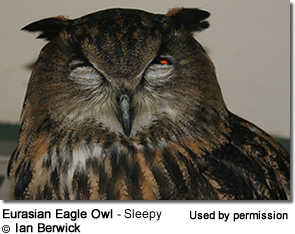 Eurasian Eagle Owl - Sleepy