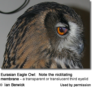 Eurasian Eagle Owl: Note the nictitating membrane - a transparent or translucent third eyelid