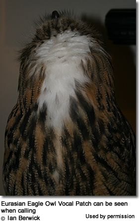 Eurasian Eagle Owl Vocal Patch can be seen when calling