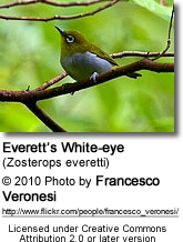 Everett's White-eye (Zosterops everetti)