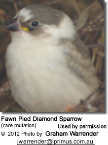 Fawn Pied Diamond Sparrow (rare mutation)