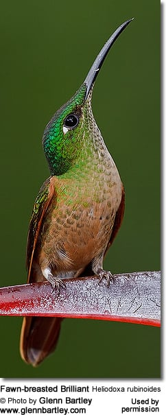 Fawn-breasted Brilliant Hummingbird (Heliodoxa rubinoides)