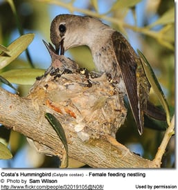 Costa's Hummingbird (Calypte costae)  - Female feeding nestling