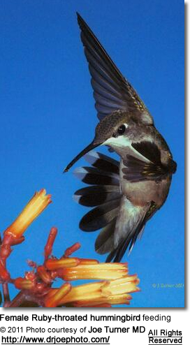 Female Ruby-throated hummingbird feeding