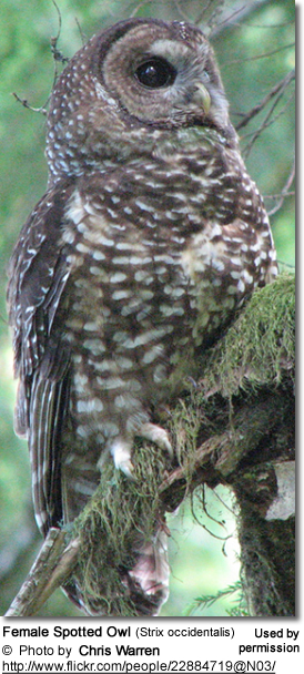 Female Spotted Owl (Strix occidentalis)