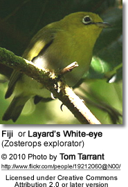 Fiji White-eye or Layard's White-eye (Zosterops explorator)