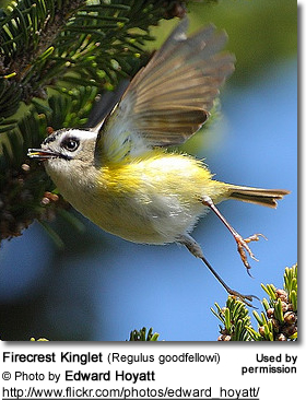 Firecrest Kinglet (Regulus goodfellowi)