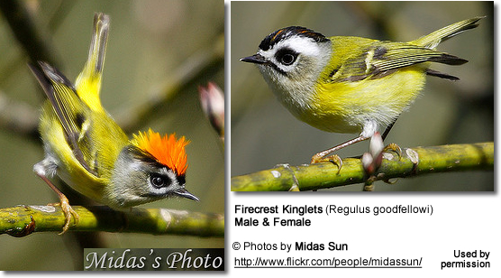 Firecrest Kinglets (Regulus goodfellowi)