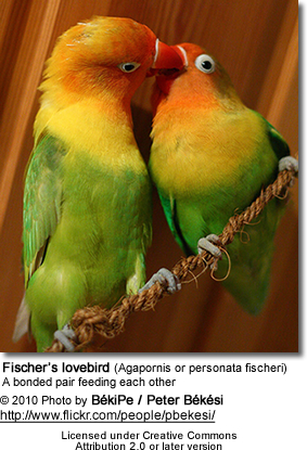 A bonded pair of lovebirds feeding each other - typical mating behavior