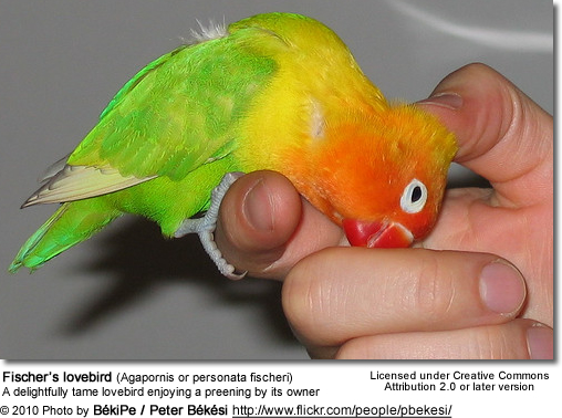 Fischer's lovebird (Agapornis or personata fischeri) - a tame pet enjoying a preening by its owner