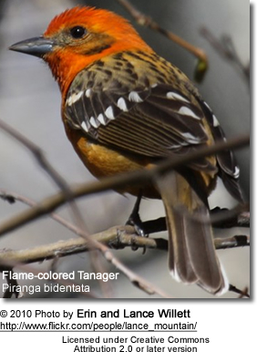 Flame-colored Tanager, Piranga bidentata, formerly known as the Stripe-backed Tanager