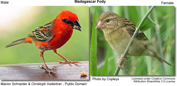 Madagascar Fodies - Male and Female