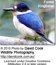 Forest Kingfisher (Todiramphus macleayii), also known as the Macleay's or Blue Kingfisher