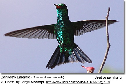 Fork-tailed Hummingbird