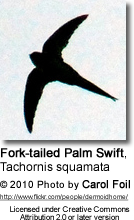 Fork-tailed Palm Swift, Tachornis squamata
