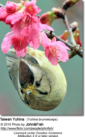 Taiwan Yuhina (Yuhina brunneiceps), formerly known as