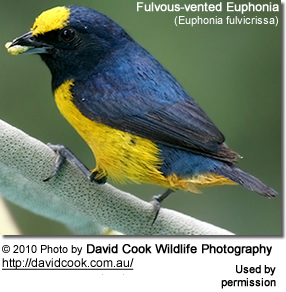 ulvous-vented Euphonia