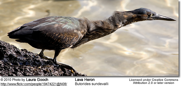Lava Heron, Butorides sundevalli, also known as the Galapagos Heron