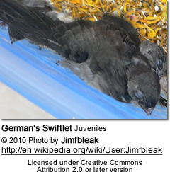 German's Swiftlet Juveniles