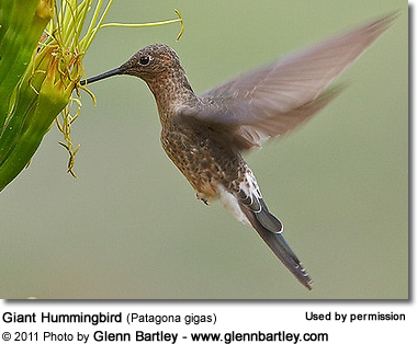 Giant Hummingbird (Patagona gigas) or Burro q'enti in flight
