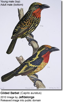 Gilded Barbet (Capito auratus) - Immature male top, adult male below
