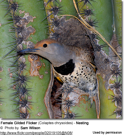 Female Gilded Flicker (Colaptes chrysoides) - Nesting