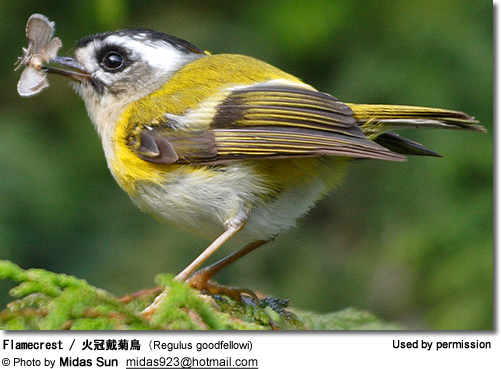 Flamecrest / ????? (Regulus goodfellowi) - or Goldcrest