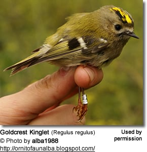Goldcrest Kinglet (Regulus regulus)
