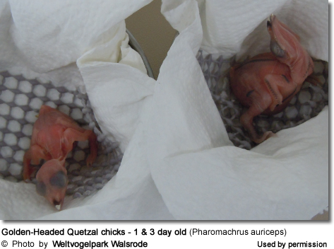 Golden-Headed Quetzal chicks - 1 and 3 day old (Pharomachrus auriceps)