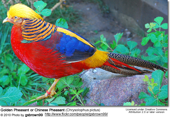 Golden Pheasant or Chinese Pheasant (Chrysolophus pictus)
