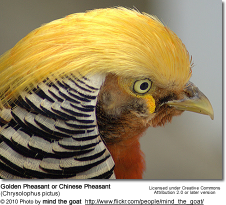 "Golden     Pheasant or ""Chinese Pheasant"", (Chrysolophus pictus)"