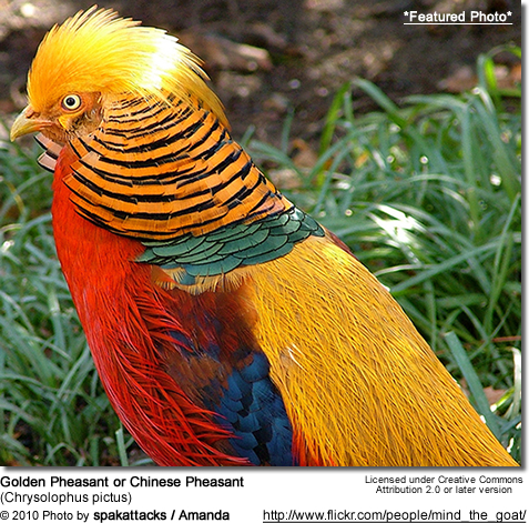Golden Pheasant or
