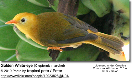 Golden White-eye (Cleptornis marchei)