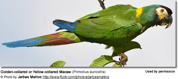 Golden-collared or Yellow-collared Macaws (Primolius auricollis