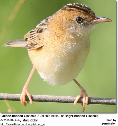 Golden-headed Cisticola (Cisticola exilis), or Bright-headed Cisticola