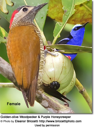 Golden-olive Woodpecker and Purple Honeycreeper