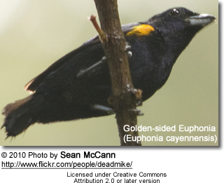 Golden-sided Euphonia (Euphonia cayennensis)