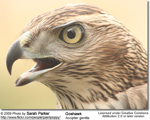 Goshawk Head Detail