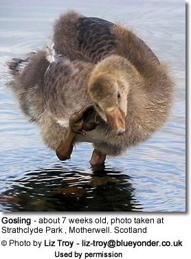 Gosling - about 7 weeks old, photo taken at Strathclyde Park , Motherwell. Scotland