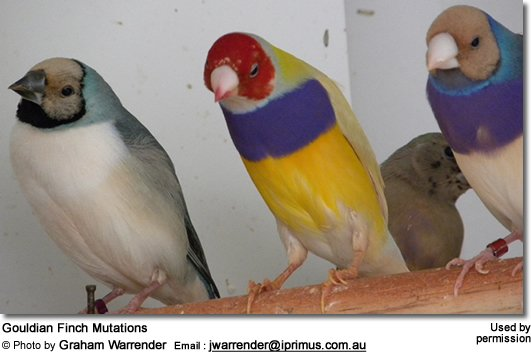 Gouldian Finch Mutations