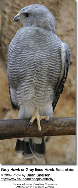 Grey Hawk or Grey-lined Hawk, Buteo nitidus