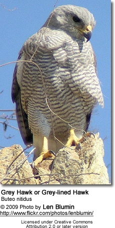 Grey Hawk or Grey-lined Hawk