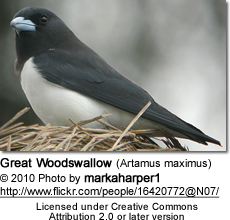 Great Woodswallow (Artamus maximus)