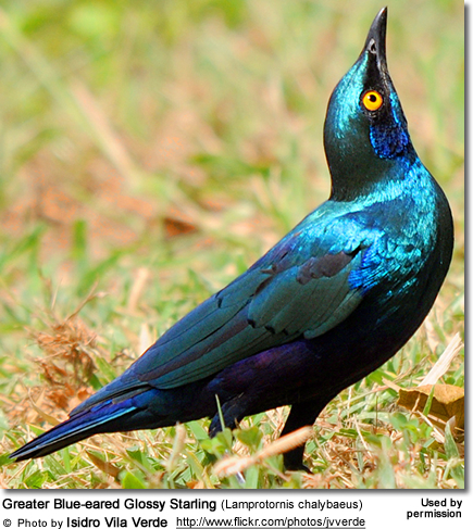 Greater Blue Eared Glossy Starlings Or Greater Blue Eared Starlings