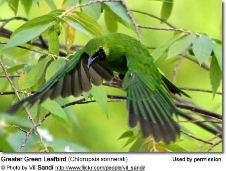 Greater Green Leafbirds (Chloropsis sonnerati)