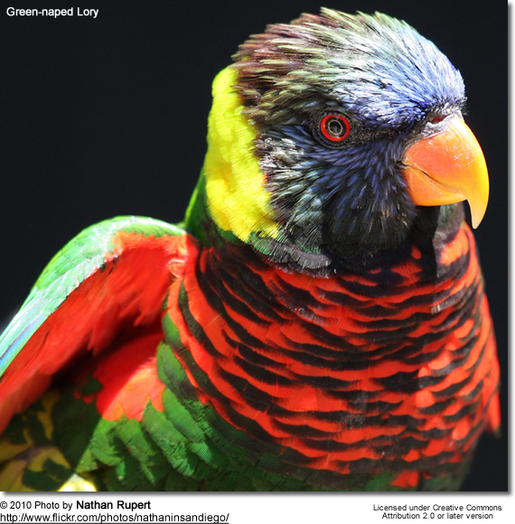 Yellow-streaked and Green-naped Lory