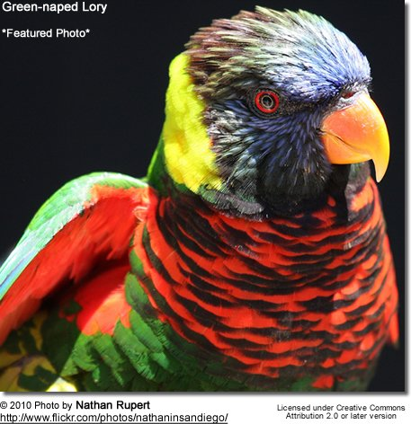 Green-naped Lory