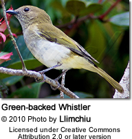 Green-backed Whistler (Pachycephala albiventris)