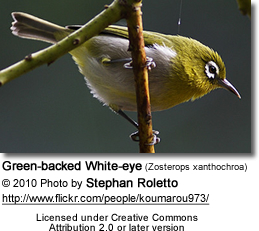 Green-backed White-eye (Zosterops xanthochroa)