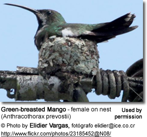 Green-breasted Mango (Anthracothorax prevostii) - female on nest